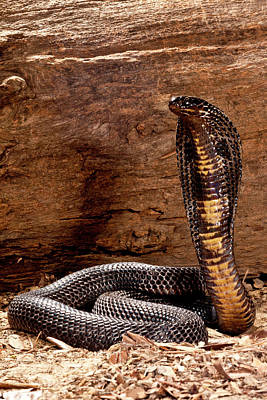 Cobra Photograph - Pakistani Black Cobra, Naja Naja by David Northcott