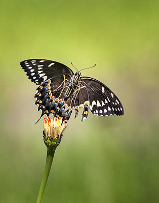 Photograph - Palamedes Swallowtail Butterfly Belly by Jo Ann Tomaselli