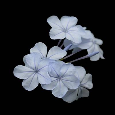 Photograph - Pale Blue Plumbago Isolated On Black Background  by Taiche Acrylic Art