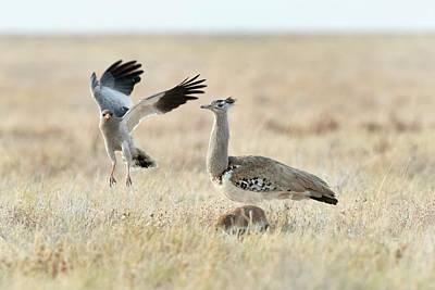 Southern Africa Photograph - Pale Chanting Goshawk And Kori Bustard by Tony Camacho