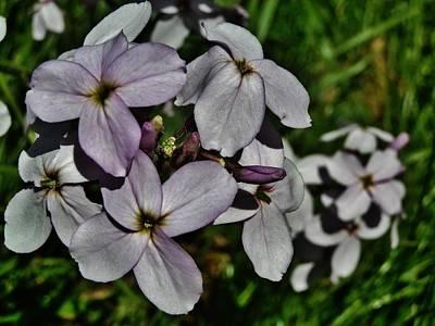 Photograph - Pale Lavender Phlox by VLee Watson