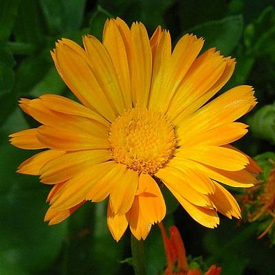 Photograph - Pale Orange Marigold Flower With Garden Background  by Taiche Acrylic Art