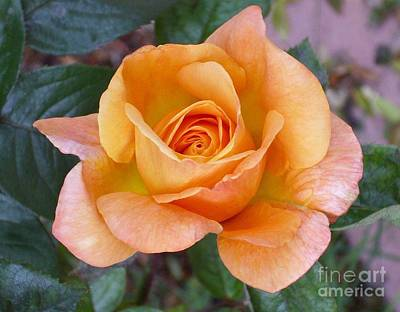 Art Print featuring the photograph Pale Orange Rose by Paul Clinkunbroomer