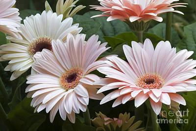 Photograph - Pale Pink Gerber Daisies by Jill Lang
