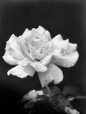 Photograph - Pale Pink Pastel Rose by Belinda Lee