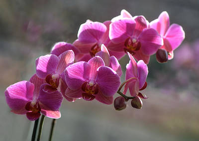 Photograph - Pale Purple Orchids by OLena Art Brand