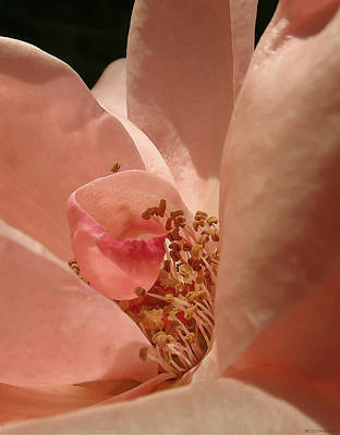 Photograph - Pale Rose Canyon by Deborah Smith