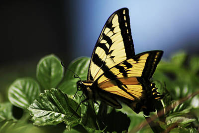 Print featuring the photograph Pale Swallowtail by Richard Stephen