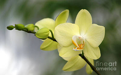 Photograph - Pale Yellow Orchid by Living Color Photography Lorraine Lynch