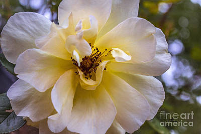 Photograph - Pale Yellow Roses by Ginette Callaway