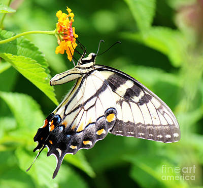Photograph - Pale Yellow Swallowtail Handing On by Jackie Farnsworth