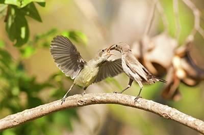 Animal Behaviour Wall Art - Photograph - Palestine Sunbird Cinnyris Oseus by Photostock-israel
