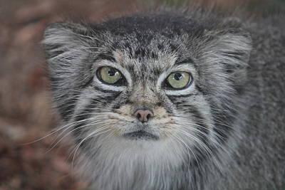 Photograph - Pallas Cat Gaze by Diane Alexander