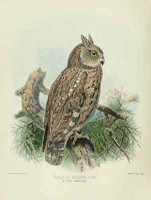 Pallid Painting - Pallid Scops Owl by Dreyer Wildlife Print Collections
