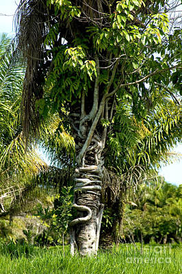 Palm Being Strangled By Strangler Fig Print by Gregory G. Dimijian, M.D.