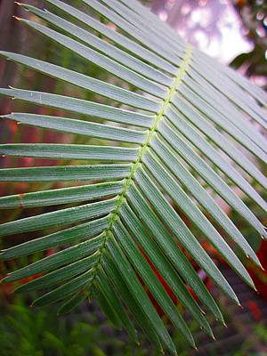 Photograph - Palm Frond by MTBobbins Photography