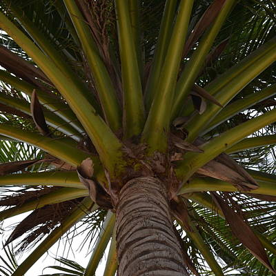 Photograph - Palm Fronds by Cheryl Miller