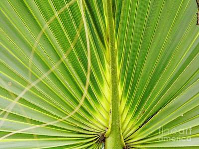 Photograph - Palm Leaf by D Hackett