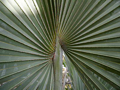 Photograph - Palm Leaf by Richard Reeve