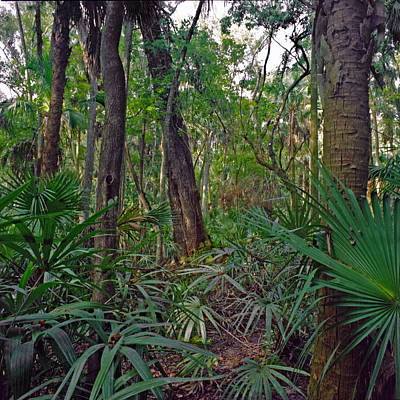 Photograph - Palm Menagerie. Highlands Hammock. by Chris  Kusik