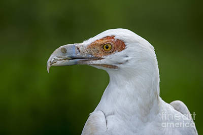 Photograph - Palm-nut Vulture 1 by Arterra Picture Library