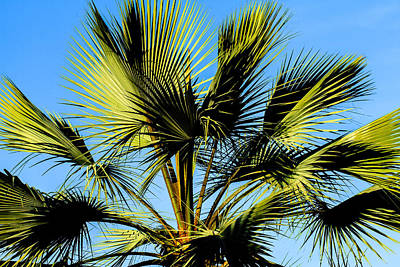Photograph - Palm Tree by Ben Graham