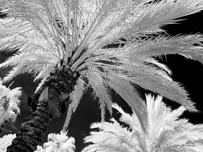 Infrared Photograph - Infrared Palm Tree Series Number 1 In Saint Petersburg Fl by Jim Swallow