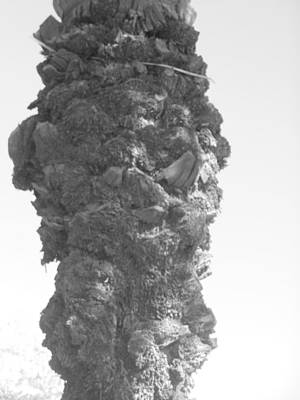 Photograph - Palm Tree Trunk by Esther Newman-Cohen