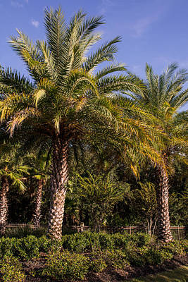 Of Flowering Palm Tree Photograph - Palm Tree by Zina Stromberg