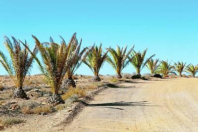Dirt Track Photograph - Palm Trees In Desert by Wladimir Bulgar