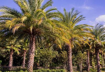 Of Flowering Palm Tree Photograph - Palm Trees Of Florida by Zina Stromberg