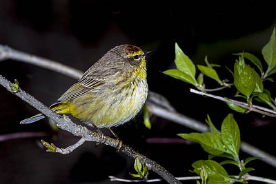 Photograph - Palm Warbler by Jack R Perry