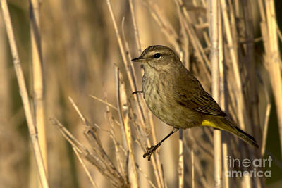 Photograph - Palm Warbler by Meg Rousher
