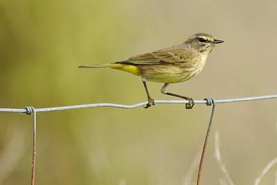 Photograph - Palm Warbler On A Ranch Fence by Bradford Martin