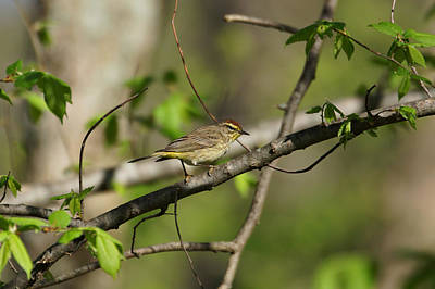 Warbler Photograph - Palm Warbler by Sandy Keeton