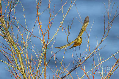 Photograph - Palm Warbler Takes Flight by Barbara Bowen