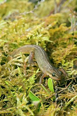 Newts Wall Art - Photograph - Palmate Newt by Duncan Shaw/science Photo Library