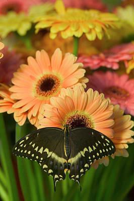 Gerber Daisy Photograph - Palmates Swallowtail Butterfly by Darrell Gulin