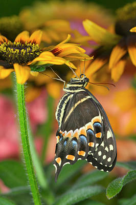 Blue Swallowtail Photograph - Palmedes Swallowtail, Papilio Palmedes by Darrell Gulin