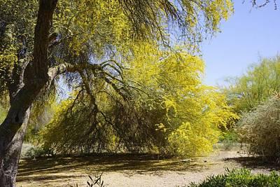 Palo Verde In Bloom Original