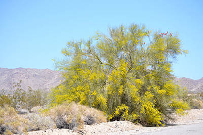 Photograph - Palo Verde In Bloom by rd Erickson