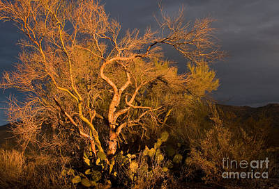 Photograph - Palo Verde Tree Sunset by Chris Scroggins