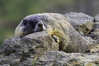 Photograph - Palouse Falls Marmot by Tim Moore