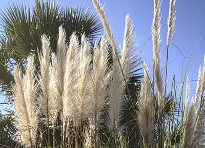 Photograph - Pampas Grass by Cathy Jourdan