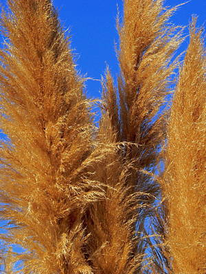 Photograph - Pampas Grass by Jeff Lowe