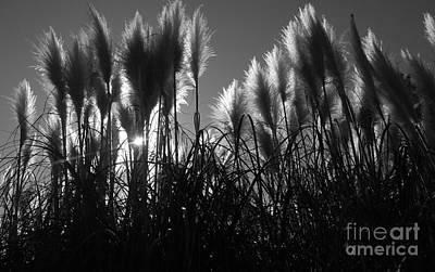 Photograph - Pampas Grass Tufts In Silhouette  by Garnett  Jaeger