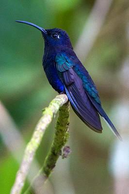 Photograph - Panacam Violet Sabrewing by David Beebe