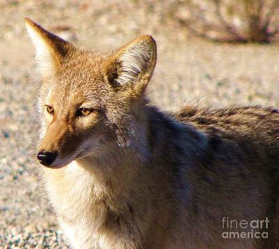 Photograph - Coyote The Trickster by Michele Penner