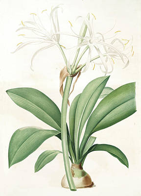 Lively Drawing - Pancratium Fragrans by Artokoloro