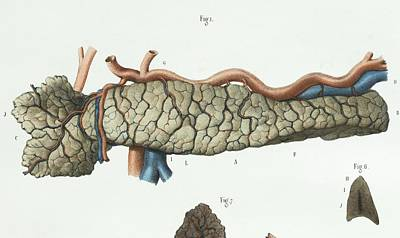 1839 Photograph - Pancreas Anatomy by Science Photo Library